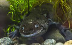 the axolotl salamander - stock photo