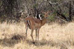 Alert impala ewe looking backwards Stock Photos
