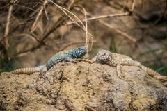 Two spiny tailed lizards Stock Photos