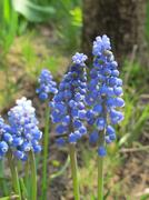 Cultivar muscari (Muscari armeniacum) flowers in the spring sunny garden Stock Photos