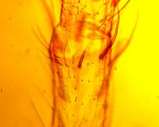 Spider (Araneae) pedipalp  - permanent slide plate under high magnification Stock Photos