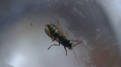 Wasp - stock footage