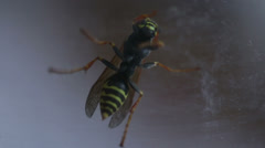 Wasp macro Stock Footage