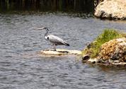 Stock Photo of great blue heron (ardea herodias)