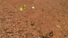 Butterflies Gather on the Ground in Argentina Stock Footage