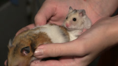 Two hamsters in hands Stock Footage