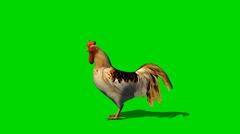 Kukko liikkeessä - eläinten green screen Footage Arkistovideo