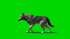 Susi kävellä - eläinten green screen kuvamateriaalia Arkistovideo