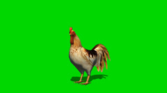 Rooster in motion  - animal green screen Footage Stock Footage