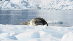 Seal on the snow. Antarctica Stock Footage