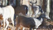 Stock Video Footage of Whitetail Deer Button Buck