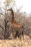 Stock Photo of giraffe eating leaves