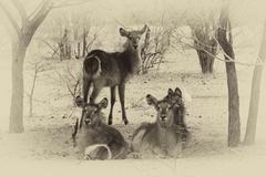 Sepia toned picture of herd of alert waterbuck listening Stock Photos