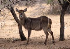 Alert waterbuck listening Stock Photos