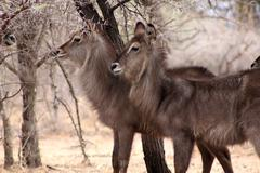 Stock Photo of alert waterbuck listening