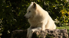 Arctic wolf resting relaxed 1 Stock Footage