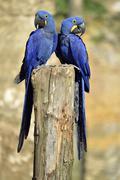 Two Hyacinth macaws Stock Photos