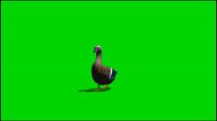Duck kävellä eläinten green screen kuvamateriaalia Arkistovideo