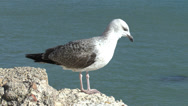 Stock Video Footage of A young Herring Gull standing on a concrete wall in Cadiz, Andalusia, Spain.