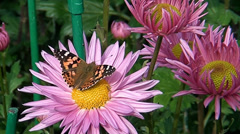 A butterfly sitting on a pink flower Stock Footage