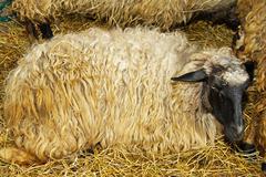 Ewe - stock photo