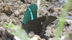 Emerald Swallowtail Stock Footage