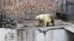 Polar bear and a crow Stock Footage