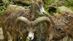 Couple of mouflons Stock Footage