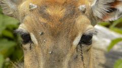 Closeup of Nilgai- Asian antelope Stock Footage