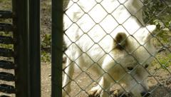 Arctic wolf in a cage Stock Footage