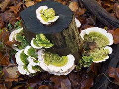 trametes gibbosa  fungi, also known as 'lumpy bracket' - stock photo