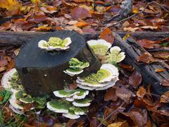 Trametes gibbosa  fungi, also known as 'lumpy bracket' Stock Photos
