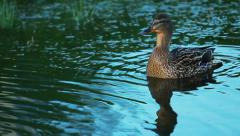 The duck floats Stock Footage