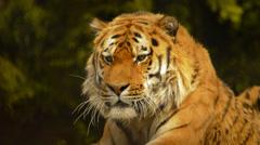 Siberian tiger watching target Stock Footage
