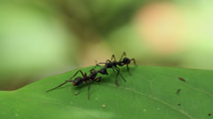 Two ants fighting on the leaf - stock footage