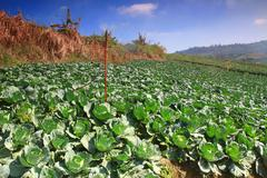 close up green cabbage field - stock photo