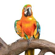 Colorful red parrot macaw isolated on white background Stock Photos