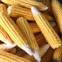Stock Photo of corn