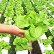 Hydroponic vegetable  on hand in garden Stock Photos