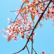 Thai cherry blossom Stock Photos