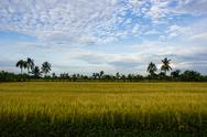 Padi field, nakornpathom, thailand Stock Photos