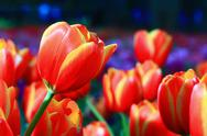 Stock Photo of colorful tulips