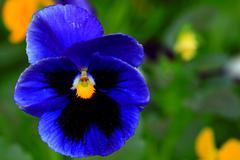 pansy isolated - stock photo