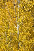 Yellow gold quaking aspen tree leaves close up leavenworth washington Stock Photos