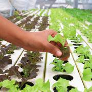 young hydroponic vegetable on hand - stock photo