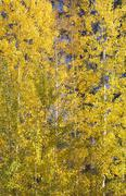 Yellow gold quaking aspen trees leaves close up leavenworth washington Stock Photos