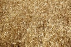Ripe wheat field palouse washington state Stock Photos