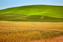 ripe yellow green wheat fields palouse washington state - stock photo