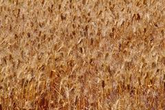 ripe wheat field palouse washington state - stock photo