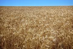 ripe wheat field blue skies palouse washington state - stock photo